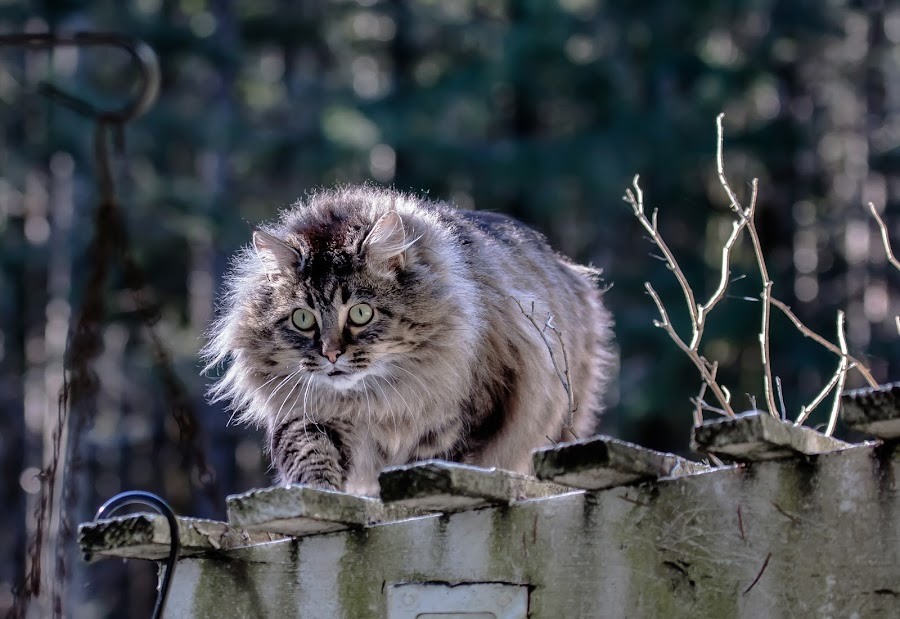 I am gonna get you by Debbie Slocum Lockwood - Animals - Cats Playing (  )
