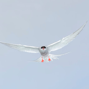Angry bird by Benny Høynes - Animals Birds ( bird, tern, sea, angry, norway )