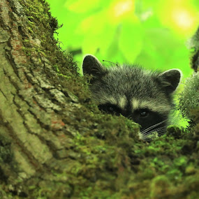 The Bandit by Todd Ratisseau - Animals Other Mammals ( awesome racoon bandit sneaky )