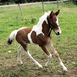 Foal by Jenny Noraika - Animals Horses ( colour, baby, cute, running, foal )