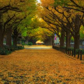 Icho Namiki by Nyoman Sundra - City,  Street & Park  City Parks ( citypark, autumn, gaienmae, tokyo, ichonamiki street )