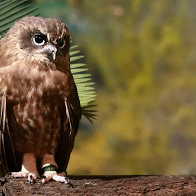 cute owl by Esther Pupung - Animals Birds