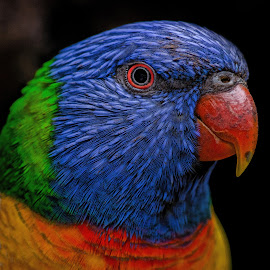 Lorrikeet by Andy Rigby - Animals Birds ( colourful, rainbow lorikeet, beauty, red eye, rainbow )