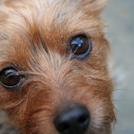 Puppy Dog Eyes by Briand Sanderson - Animals - Dogs Portraits ( canine, yorkshire terrier, yorkypoo, puppy, cindyloo, dog, yorky, eyes )