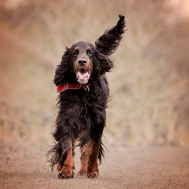Magical Misty by Ken Jarvis - Animals - Dogs Running ( gordon setter, dog portrait, setter, dog, running )
