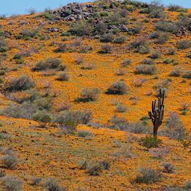 Golden hillside by David Bair - Landscapes Deserts ( saguaro cactus, wildflowers, eschscholzia californica, desert, colorful, arizona, california poppy, scenic, spring )
