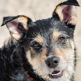 Jersey by Dave Lipchen - Animals - Dogs Portraits ( shepherd terrier cross )