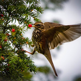 by Sharon Davies - Novices Only Wildlife ( bird, berry, tree, wings, green, feeding, redwing )