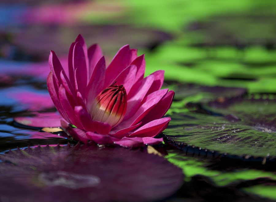 Lily by John CHIMON - Nature Up Close Flowers - 2011-2013 ( water, reflection, purple, colors, green, lilies, reflections, botanic, pretty, beautiful light, lily, leafs, color, blue, pink, chicago, flowers, garden, reflective, flower )