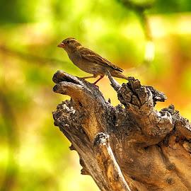 Pichon by Victor Orazi - Animals Birds ( pichon )