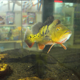Bright Fish.... by Melanie Goins - Animals Fish ( reflection, colorful, fish, yellowish, medium,  )