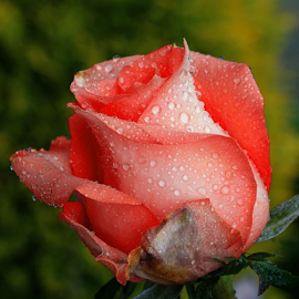 by Ad Spruijt - Flowers Flower Gardens (  )