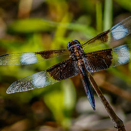 by Allen Wesley - Animals Insects & Spiders ( animals, nature, nature up close, insects, dragonfly )