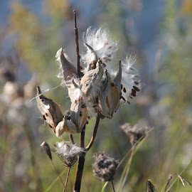 I'LL FLY AWAY by Barbara Craven - Nature Up Close Other plants ( wild flower, wildflowers, wilderness, weed, milkweed, weeds, milkweed pod )