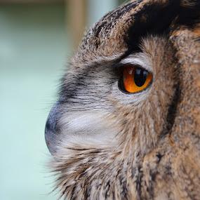 beautiful owl by Shana Buckens - Animals Birds