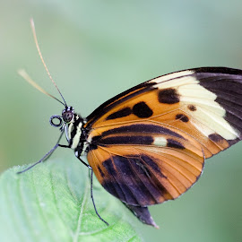 Orange White Black Butterfly by Carl Albro - Animals Insects & Spiders ( orange, butterfly, insect )