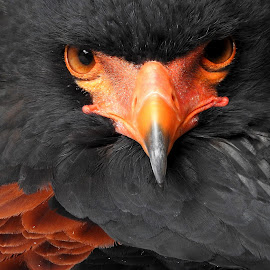 Nugget by Kathryn Willett - Animals Birds ( bird of prey, eagle, portrait, eyes, photography,  )