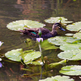 Water lilies  by Colette Edwards - Nature Up Close Other plants (  )