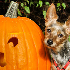 Little Pumpkin by Briand Sanderson - Public Holidays Halloween ( doggie, yorkshire terrier, yorkie, pumpkin, terrier, mammal, yorky, halloween, canine, cindyloo, jack-o-lantern, dog, animal )