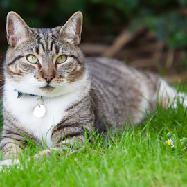 Cat on Grass by Linda Johnstone - Animals - Cats Portraits ( cats, cat, beautiful, green eyes, cat on grass, pet phoography )