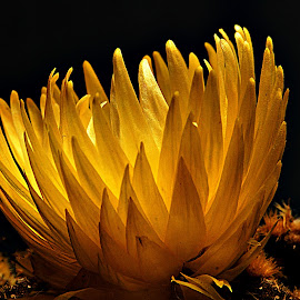 Yellow Cactus Flower by Gaylord Mink - Flowers Single Flower ( plant, cactus, yellow, petals )