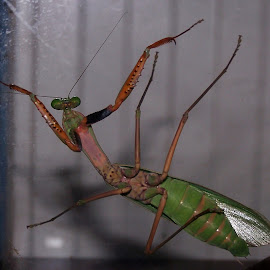 Praying Mantis by Sarah Harding - Novices Only Wildlife ( nature, novices only, wildlife, insect, small )