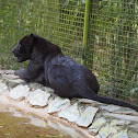 Black Jaguar, or Panther