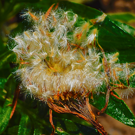 gazania seeds by LADOCKi Elvira - Nature Up Close Gardens & Produce ( flowers )
