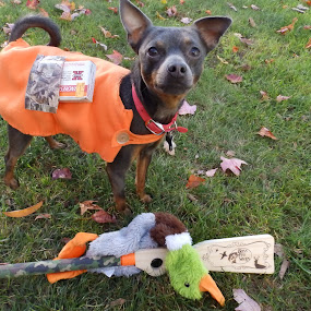 Spike the hunter  by Jessie Dautrich - Animals - Dogs Portraits ( clothes, hunting, little, cute, dog,  )