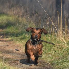 by Biljana Nikolic - Animals - Dogs Playing