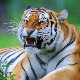 Angry Tiger by Gérard CHATENET - Animals Lions, Tigers & Big Cats