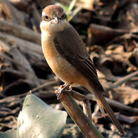 Brown shrike by Malay Maity - Novices Only Wildlife ( looking, bird, sitting, animal,  )