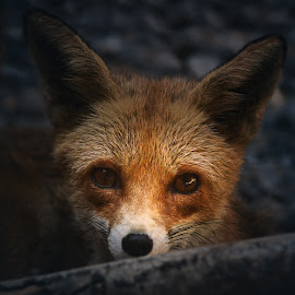 foxy by Moussa Idrissi - Animals Other Mammals (  )