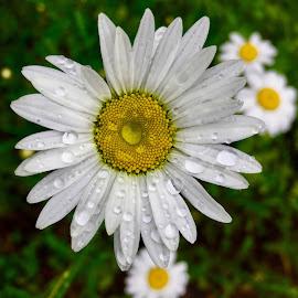 Daisies  by Debbie Squier-Bernst - Flowers Flowers in the Wild