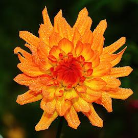 Epluchage du coeur by Gérard CHATENET - Flowers Single Flower