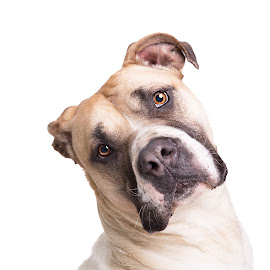 South African Boerboel by Linda Johnstone - Animals - Dogs Portraits ( pet photography, dogs, south african boerboel, rescue, heat tilt, charity )