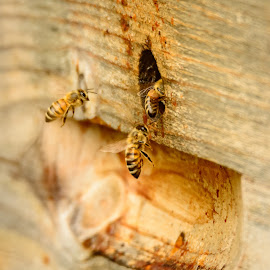 Bee Hive by Wilma Michel - Nature Up Close Hives & Nests ( macro, bees nest, insects, honey bees, bee hive )