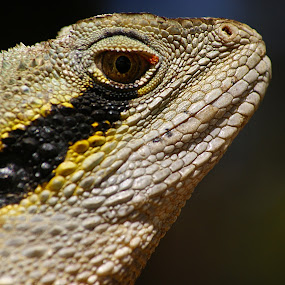 Water Dragon by Joanne Draper - Novices Only Wildlife ( australia, wildlife, water dragon )