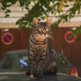 by Estislav Ploshtakov - Animals - Cats Portraits
