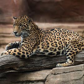 Relaxing Jag by Alan Naar - Animals Lions, Tigers & Big Cats
