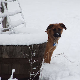 Vala's First Snow by ChrisTina Shaskus - Animals - Dogs Portraits