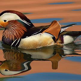 Mandarin Duck Glides by Shawn Thomas - Animals Birds ( water, fowl, mandarin, duck, wildlife )