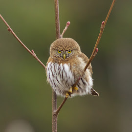 I'm Serious by Robin Horn - Animals Birds ( northern pygmy-owl (glaucidium gnoma), minimalist, bokeh, perch, birds, closeup )