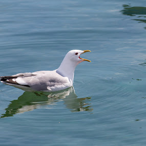 seagull by Benny Høynes - Animals Birds ( bird, seagull, nature up close, summer, sea, norway )
