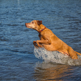Ruckus Leaps Out of the Water by Joe Chowaniec - Animals - Dogs Playing ( water, ruckus, pet, vizsla, dog )