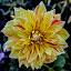 flower by Mohsin Raza - Flowers Single Flower (  )