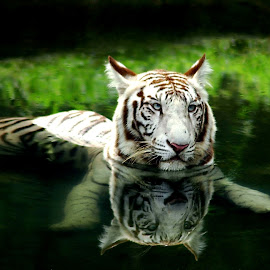 Me & Reflection by Barun kumar Sinha - Animals Lions, Tigers & Big Cats (  )