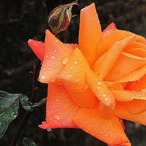 Wet Rose by Shambhunath Sadhu - Nature Up Close Flowers - 2011-2013 ( water, rose, nature, flower, rain,  )