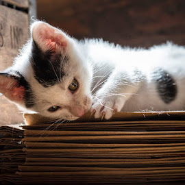 Lazy Sunday Kitten by Jude Walton - Animals - Cats Kittens