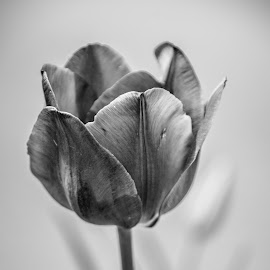 After Hours by Myra Brizendine Wilson - Black & White Flowers & Plants ( multicolor tulips, spring flowers, nature, black and white, blooms, tulip, bloom, trip, tulips, flowers, spring )